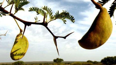 Afrique, les arbres de la vie | ARTE | agriculture | Scoop.it