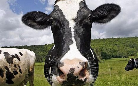 Gas from cow manure to heat British homes - Telegraph | AD News - National News | Scoop.it