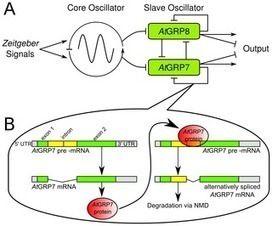 A Circadian Clock-Regulated Toggle Switch Explains AtGRP7 and AtGRP8 Oscillations in Arabidopsis thaliana | SynBioFromLeukipposInstitute | Scoop.it