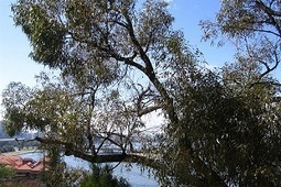 Local eucalypts resist crossbreeding with introduced species | Australian Plants on the Web | Scoop.it