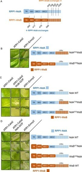 Recognition and Activation Domains Contribute to Allele-Specific Responses of an Arabidopsis NLR Receptor to an Oomycete Effector Protein | Hot topics on Science, biotechnology and plant pathology | Scoop.it