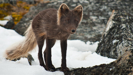 Saving Sweden's #Arctic #fox | Inuit Nunangat Stories | Scoop.it