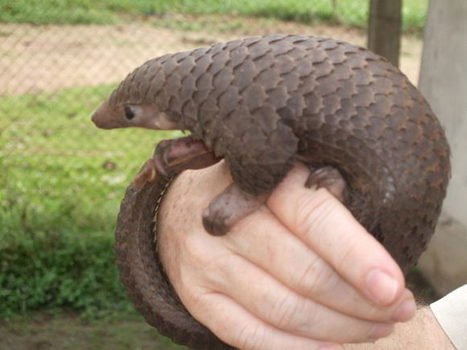 Lao PDR failing to curb pangolin and hornbill trafficking: new reports | Endangered Species News | Scoop.it