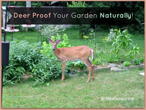 Deer Proof Your Garden and Yard Naturally | animals | Scoop.it