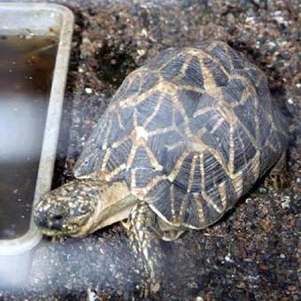 India: Sixty-two star tortoises seized in Nagaland | Wildlife Trafficking: Who Does it? Allows it? | Scoop.it