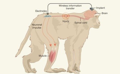 Paralysed people could walk again instantly after scientists prove brain implant works in primates | Longevity | Scoop.it