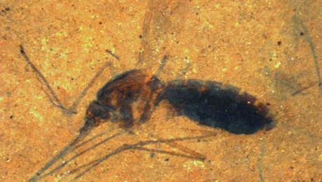 Met bloed gevuld fossiel van mug van 46 miljoen jaar oud ontdekt | KAP-ANGELO | Scoop.it