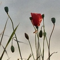 Why are Poppies Red? | About all aspects of life | Scoop.it