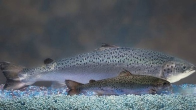 GMO salmon firm clears one hurdle but still waits for key OKs - CBC.ca | Laboratory | Scoop.it