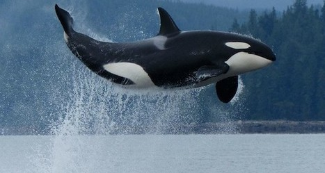 Video of 50 orca killer whales playing off Galiano coast - AmeriPublications | Orca Whales in the Wild | Scoop.it