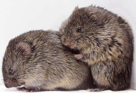 Consoling Voles Hint at Animal Empathy | Empathy and Animals | Scoop.it