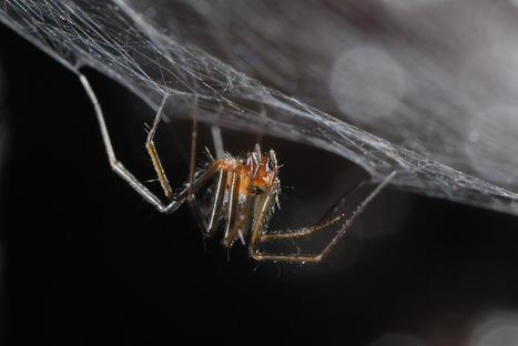 Species conservation profile of a critically endangered endemic for the Azores spider - Scienmag   spéléo   Scoop.it