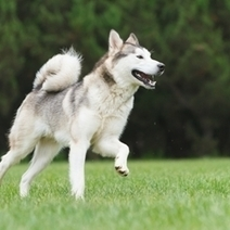 A brief history of the Siberian Husky - Latest Pet News | How do the physical capabilities of a Husky relate to their history of working as snow dogs? | Scoop.it