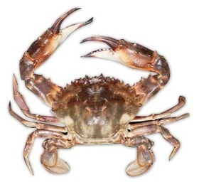 Asian Paddle Crab | Naturaliste Marine Discovery Centre | What is their habitat? | Scoop.it