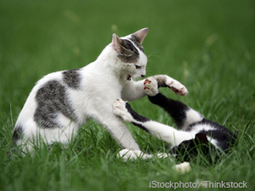 Curbing Sexual Aggression in Neutered Cats   In Your Pet's Best Interest   Scoop.it