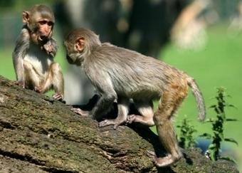 First Autologous iPSC Bone Regeneration in Nonhuman Primate Model | Tissue regeneration | Scoop.it