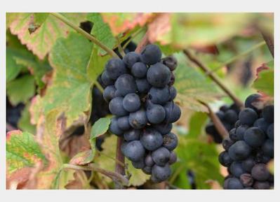 La 3ème vendange des vignes municipales de Besançon est officiellement bio | Le vin quotidien | Scoop.it