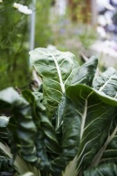 Spotlight Edible of the Day: Cool Season Crops – Nutritional Powerhouse Plants: GREENS « Home Grown Edible Landscapes | Annie Haven | Haven Brand | Scoop.it