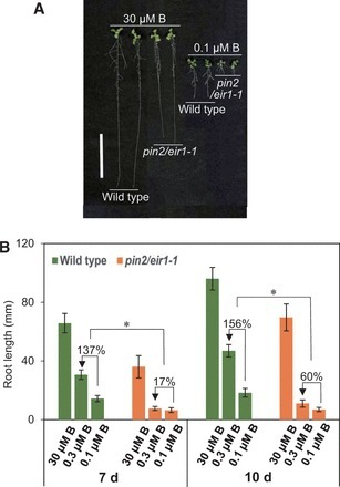 Differential Roles of PIN1 and PIN2 in Root Meristem Maintenance Under Low-B Conditions in Arabidopsis thaliana | Emerging Research in Plant Cell Biology | Scoop.it