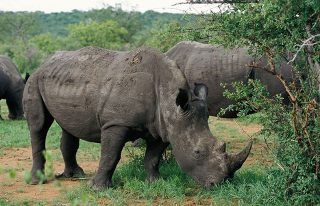 If Rhinos Go Extinct | GarryRogers NatCon News | Scoop.it