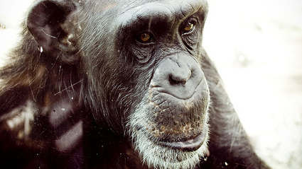 Ces chimpanzés qui veulent se faire manger | Chair Corps | Scoop.it