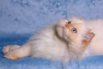 himalayan-cat-4th.jpg (425x283 pixels) | PERSIAN CATS | Scoop.it