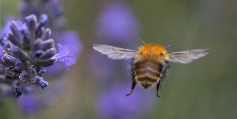 Quarter Of Europe's Bumblebees Face Extinction | Vertical Farm - Food Factory | Scoop.it