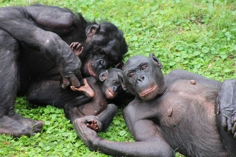 Our Closest Relatives, the Sexy Bonobos   Evolution   Scoop.it