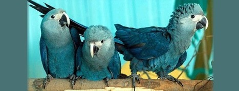 World's rarest parrot Spix's Macaw population comprises 127 birds | All Things Zygodactyl | Scoop.it