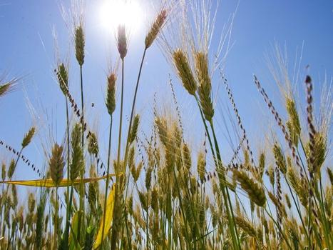 Doctors Say Changes In Wheat Do Not Explain Rise Of Celiac Disease - NPR (blog) | Holistic Health | Scoop.it