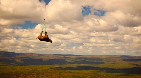 The Flying Rhinos | What's Happening to Africa's Rhino? | Scoop.it
