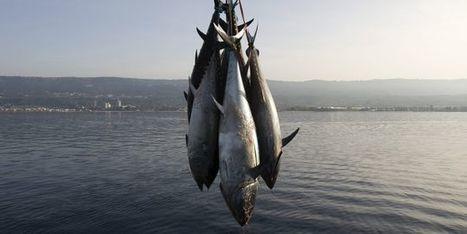 WWF dénonce un trafic de thon rouge de Méditerranée entre 2000 et 2010   Responsabilité humaine et environnement   Scoop.it