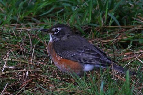 American Robin via Martin Goodey | Birding Britain & Ireland | Scoop.it