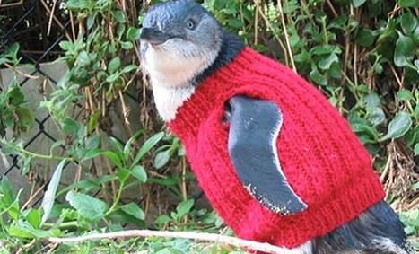 Help Penguins Affected by Oil Leaks by Knitting | Nature Animals humankind | Scoop.it