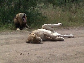 Kruger Park Sightings: The morning was cool, the day was cooler! | Kruger & African Wildlife | Scoop.it