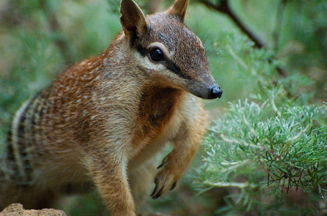 Saving Australian endangered species - a policy gap and political opportunity | History | Scoop.it