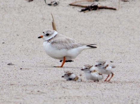 Piping Plovers Losing Nesting Habitat - Conservation Articles & Blogs - CJ   Wildlife and Conservation   Scoop.it