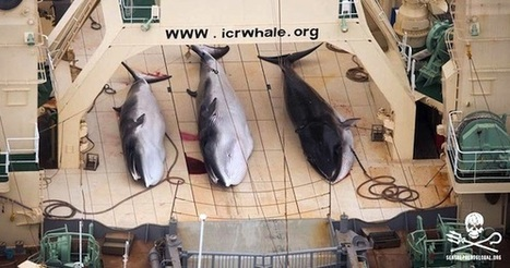 Japan Kills 333 Minke Whales Including 200 Pregnant Females | Epicurist: In Victus Veritas | Scoop.it