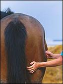 All about equine sports massage - Horse & Hound | Equine massage | Scoop.it