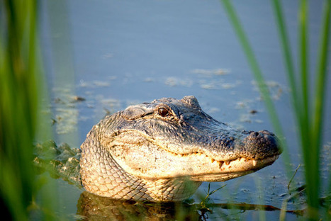 Alligators enjoy protection in Texas   Mary Ann's Nature Articles from The Hutto News   Scoop.it