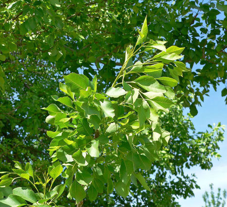 How much to water your ash trees | CALS in the News | Scoop.it