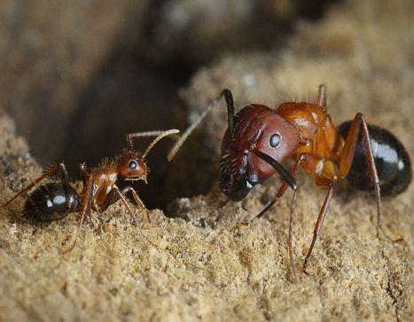 Des fourmis reprogrammées... par épigénétique | Actualités Sciences | Scoop.it