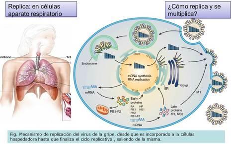 Inmunología de la gripe | Gripe e influenza | Scoop.it