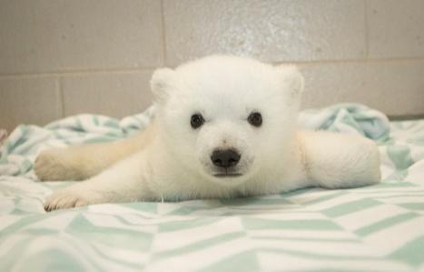 VIDEO. L'adorable oursonne polaire de Washington baptisée Nora | Biodiversité | Scoop.it