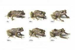Descubren nueva especie de rana que cambia la textura de su piel | Agua | Scoop.it