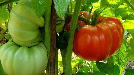 Tomato growth boosted with a spray of nanoparticles | Knowmads, Infocology of the future | Scoop.it