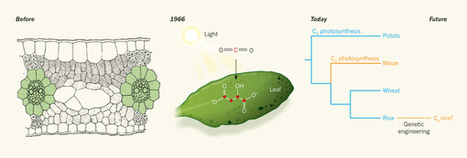 In retrospect: Fifty years of C4 photosynthesis : Nature : Nature Research | plant cell genetics | Scoop.it