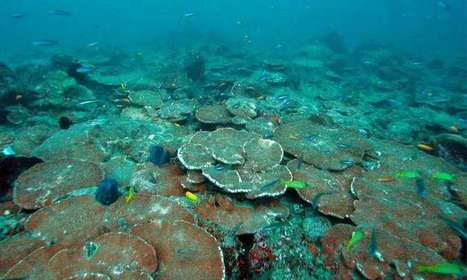 A new future for corals   GarryRogers Biosphere News   Scoop.it