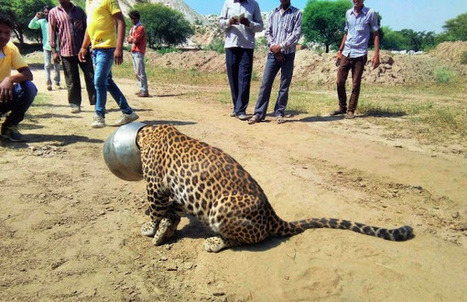 Leopard Becomes Total Pothead. So Sad. | GarryRogers NatCon News | Scoop.it