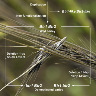 Brittle rachis in barley, in one diagram | Agricultural Biodiversity | Scoop.it